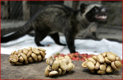 Civet coffee - photo#9